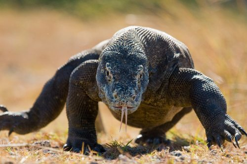 Komodo dragons can grow up to 10 feet long and weigh 300 pounds.