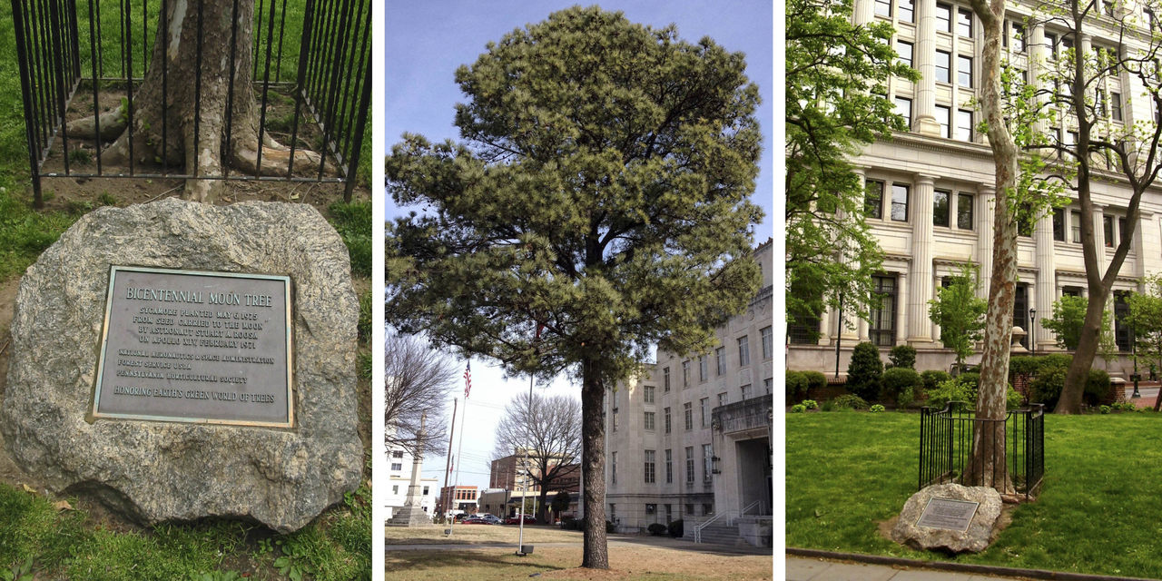Moon Trees were planted across the country, including a sycamore in Philadelphia's Washington Square (left and right) and a loblolly pine in Sebastian County, Arkansas (middle). The one in Philadelphia was replaced with a clone.