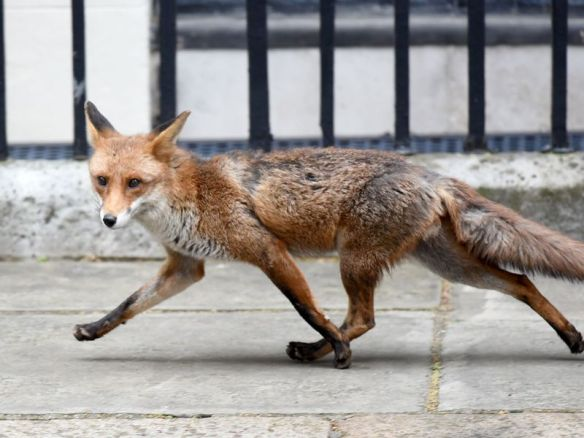 A fox is seen in Downing Street in central London, United Kingdom